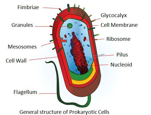 Difference Between Prokaryotic Cells And Eukaryotic Cells With