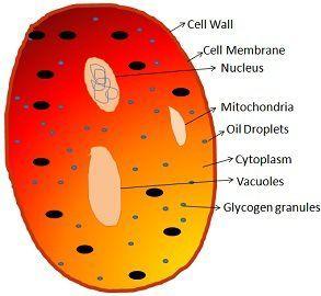 fungi cell