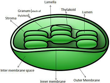 Difference between chlorophyll and chloroplast with comparison choroplast ccuart Gallery