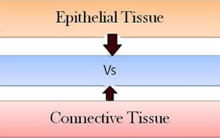 Epithelial_Vs_connective_content
