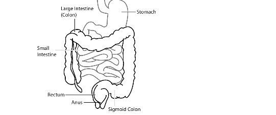 Difference Between Small Intestine and Large Intestine (with ...