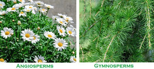 Angiosperms_Vs_gymnosperms_img