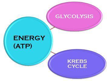 Glycolysis_Vs_Krebs_Cycle