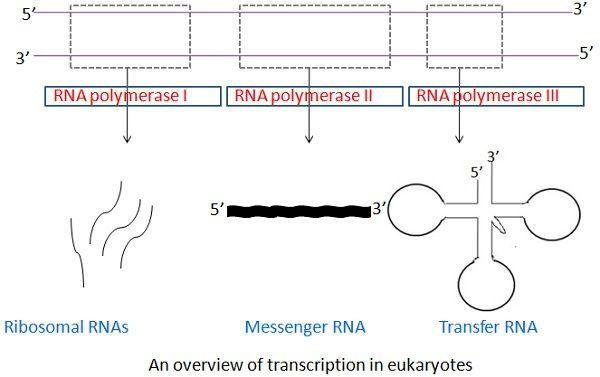 eukaryotic_rna_img_2
