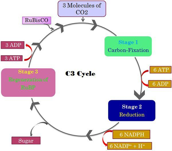 Difference Between C3, C4 and CAM pathway (with Comparison