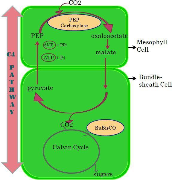 C4 pathway_content 2