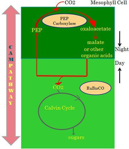 CAM pathway 2