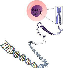 Difference Between Heterochromatin and Euchromatin (with