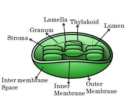 Difference Between Mitochondria And Chloroplast With