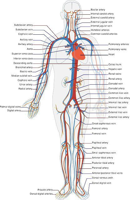 Difference Between Arteries and Veins (with Comparison Chart and ...