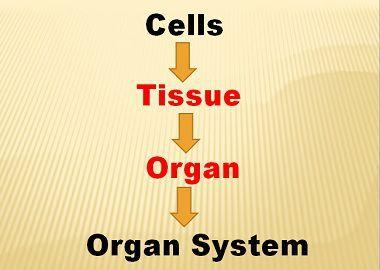Tissue_Vs_Organs_content_img