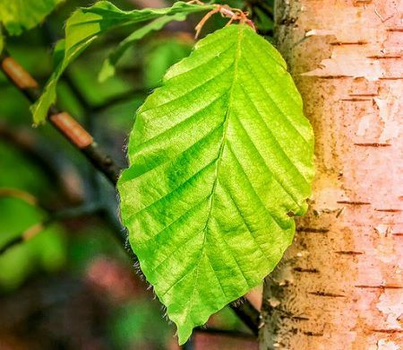 Difference Between Simple and Compound Leaves (with