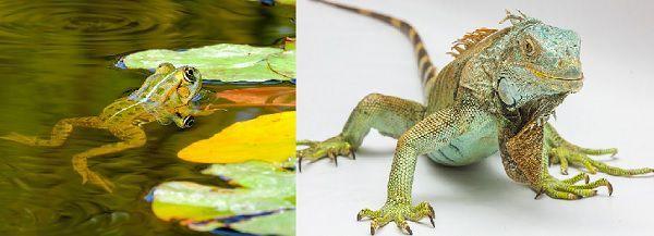 Amphibians_Vs_Reptiles_content