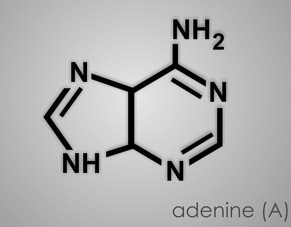 purines_adenine_img